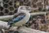 Kingfisher (kookaburra), Gorge Wildlife Park