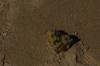 Hermit crab, Gantheaume Point, Broome