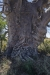 Ancient Boab tree-2