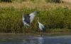 Herons, Geikie Gorge, Fitzroy River