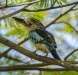 Kingfisher, Fitzroy River