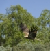 Whistling Kite - Ord River
